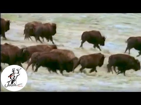 Fabulous Animals: Champion of the Prairie - The Bison