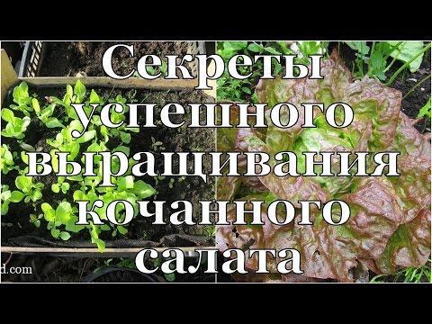 КОЧАННЫЙ САЛАТ. Все СЕКРЕТЫ выращивания // Secrets Of Successful Cultivation Of Iceberg Lettuce