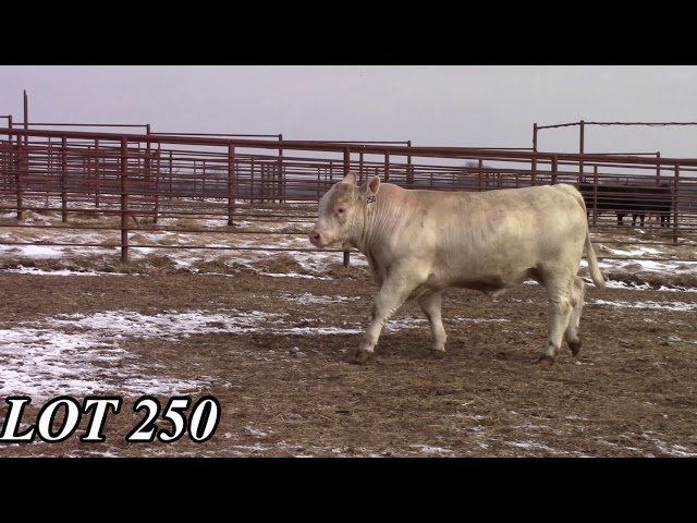 Mead Angus Farms Lot 250
