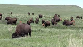 2021 National Bison Range in 4K/UHD - near Missoula, Montana MT