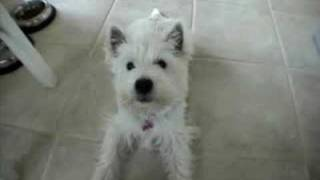 Talking Westie Pup Says Ma'ma