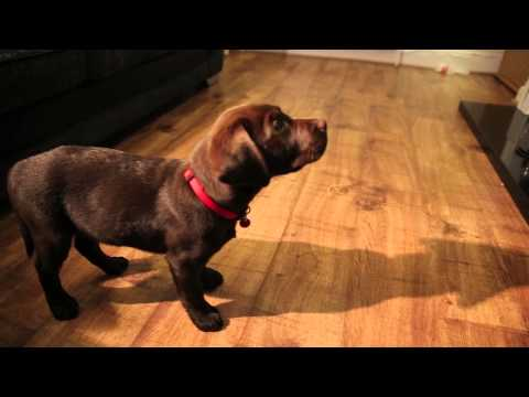 Labrador Puppy Training 10 Weeks Old Ben The Chocolate Labrador