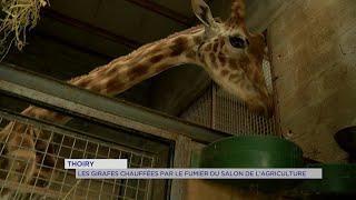 Yvelines | Thoiry : Les girafes chauffées par le fumier du salon de l'agriculture