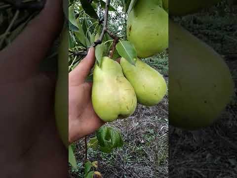 Сорт груши Дельбарю R - X 12/47 сад Павлюка