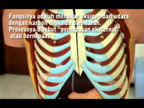 fungsi organ tubuh manusia