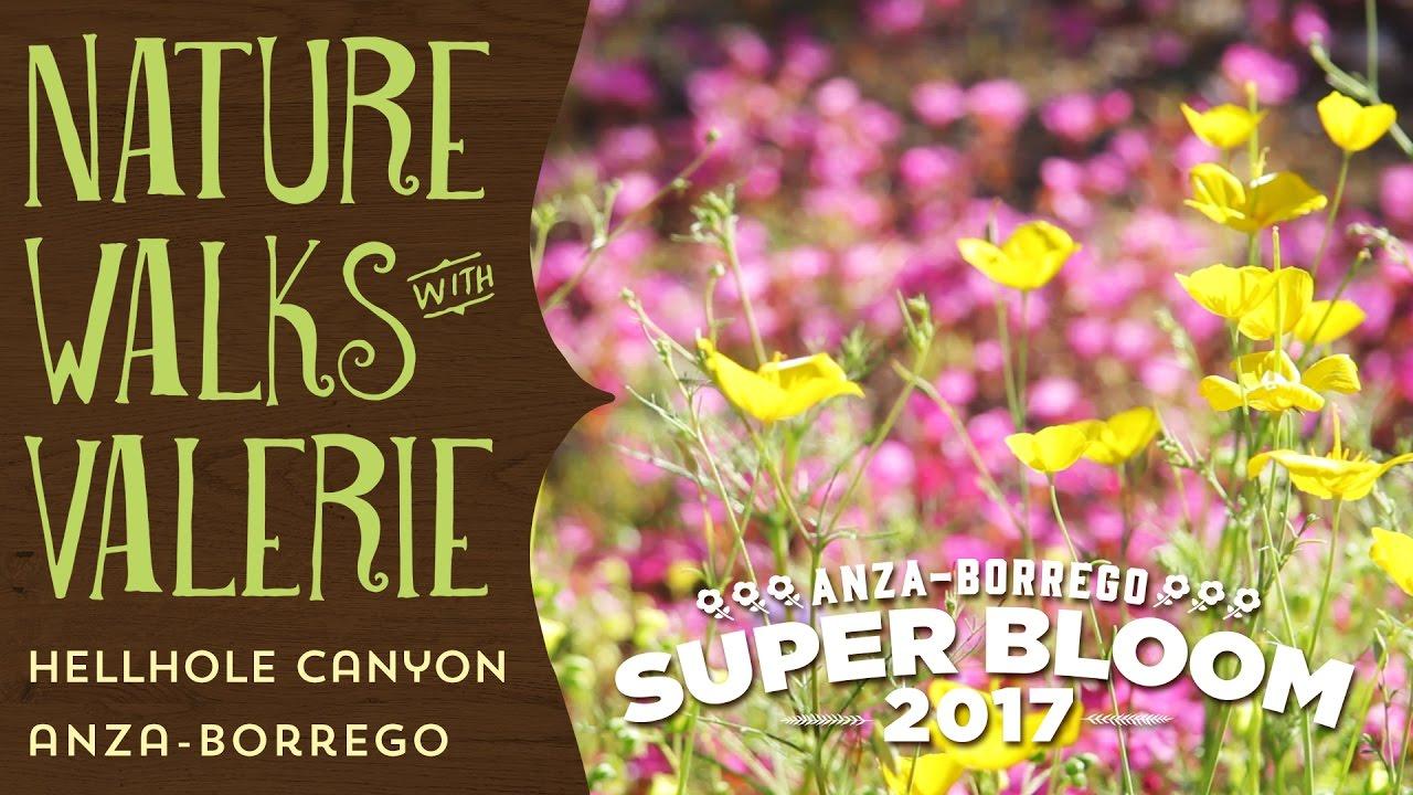 anza borrego wildflowers super bloom hellhole canyon youtube