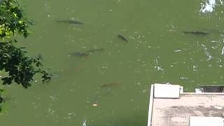 The Carp in the Cove (Normal Speed Clip)