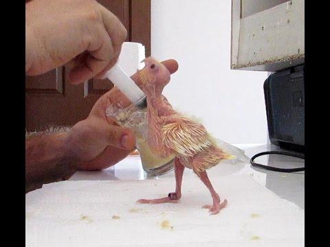Sultan Papağanı Yavrusu Elle Besleme