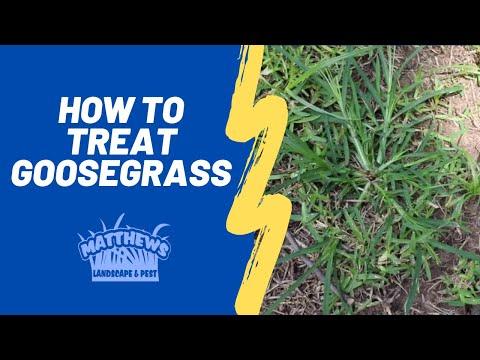 How To Treat Goosegrass Youtube