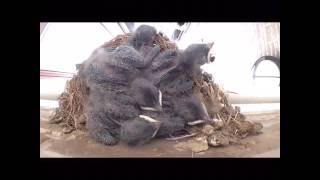 2016.5.10孵化 30日巣が崩壊し2羽が強制巣立ち その後2羽が自ら巣立ち残...