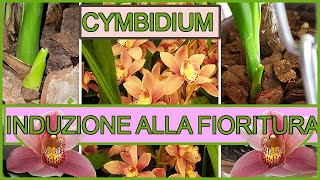 Come far fiorire un orchidea 🌺Recupero Orchidea Cymbidium Part 2