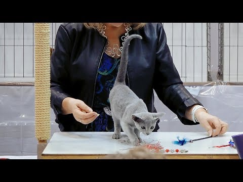CFA International Show 2018 - Russian Blue kitten class judging