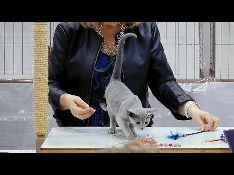 CFA International Show 2018 - Russian Blue kitten class judging