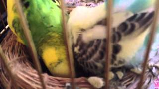 雛は二匹、掃除はおちついてからしました。巣はメスの定位置になってる...