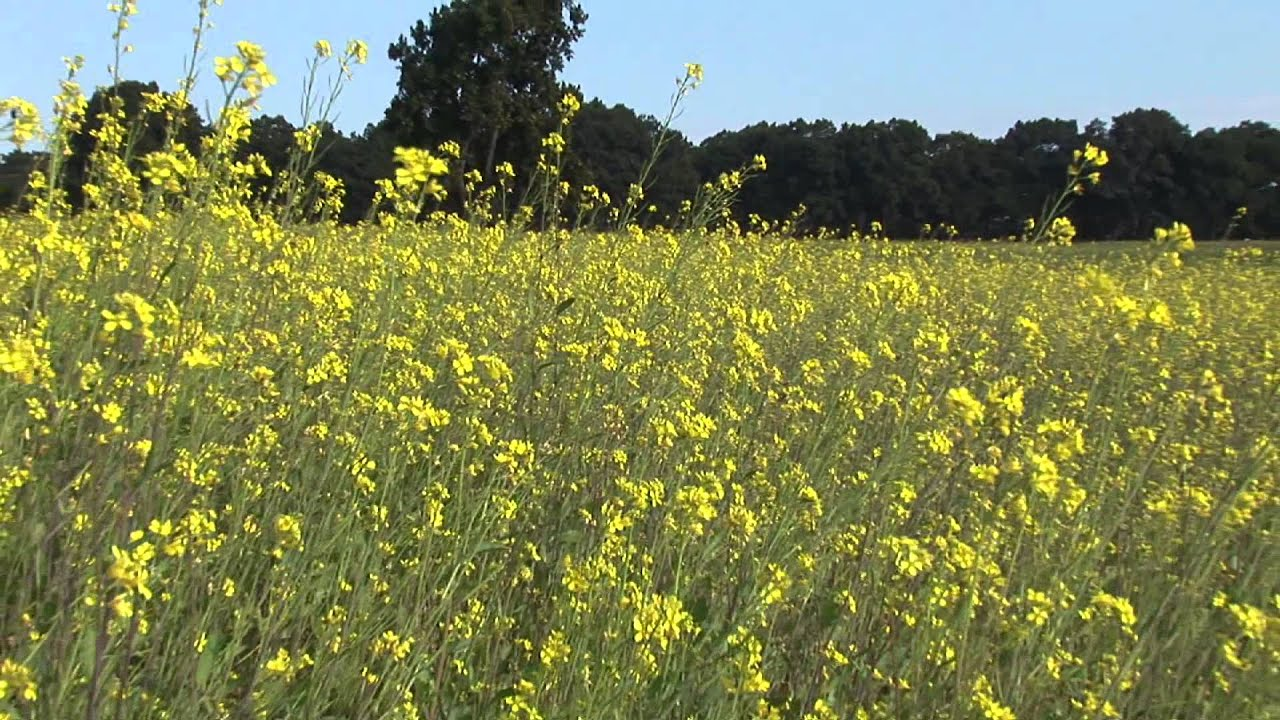 mustard plant uses Mustard plant uses topics: white mustard, olfaction, odor pages: 3 (998 words) published: june 1 sore throat relief - mustard can be used as an ingredient of a natural sore throat relieving solution.