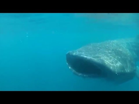 Song of the Whale Shark