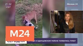 Пума напала на собаку в Подмосковье - Москва 24