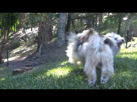 Havanese dogs run & roll !!!