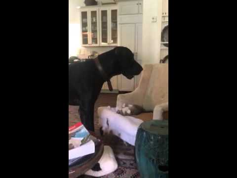 """Cute Great Dane """"Jeeves"""" and Cat """"Swarez"""" Playing"""
