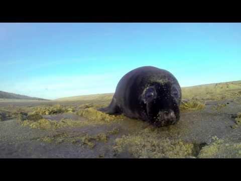 Unusual black seal pup investigating my GoPro.