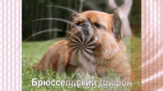 Самые маленькие породы собак часть 1