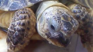 Черепаха лопает яблоки крупным планом