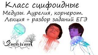 Класс сцифоидные, медузы. Аурелия, корнерот, цианея.  Лекция и разбор заданий ЕГЭ