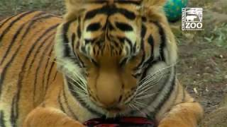 MalayanTiger Cubs Celebrate 2nd Birthday - Cincinnati Zoo