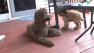 Labradoodle Puppy Play