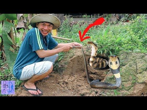 Bắt Được RẮN Hổ Mang KHỔNG LỒ Trong Ụ Mối Chúa.Thử Bắt Rắn Chúa Bằng Tay.Catch Snake In The Mud