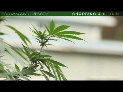 Choosing Your Strain - Beginner Marijuana Growing - Strains - Indica VS Sativa - 1