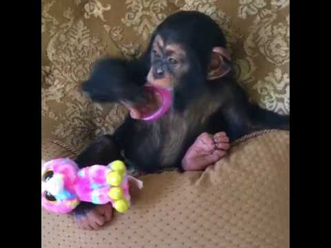 Baby Chimp playing like a baby