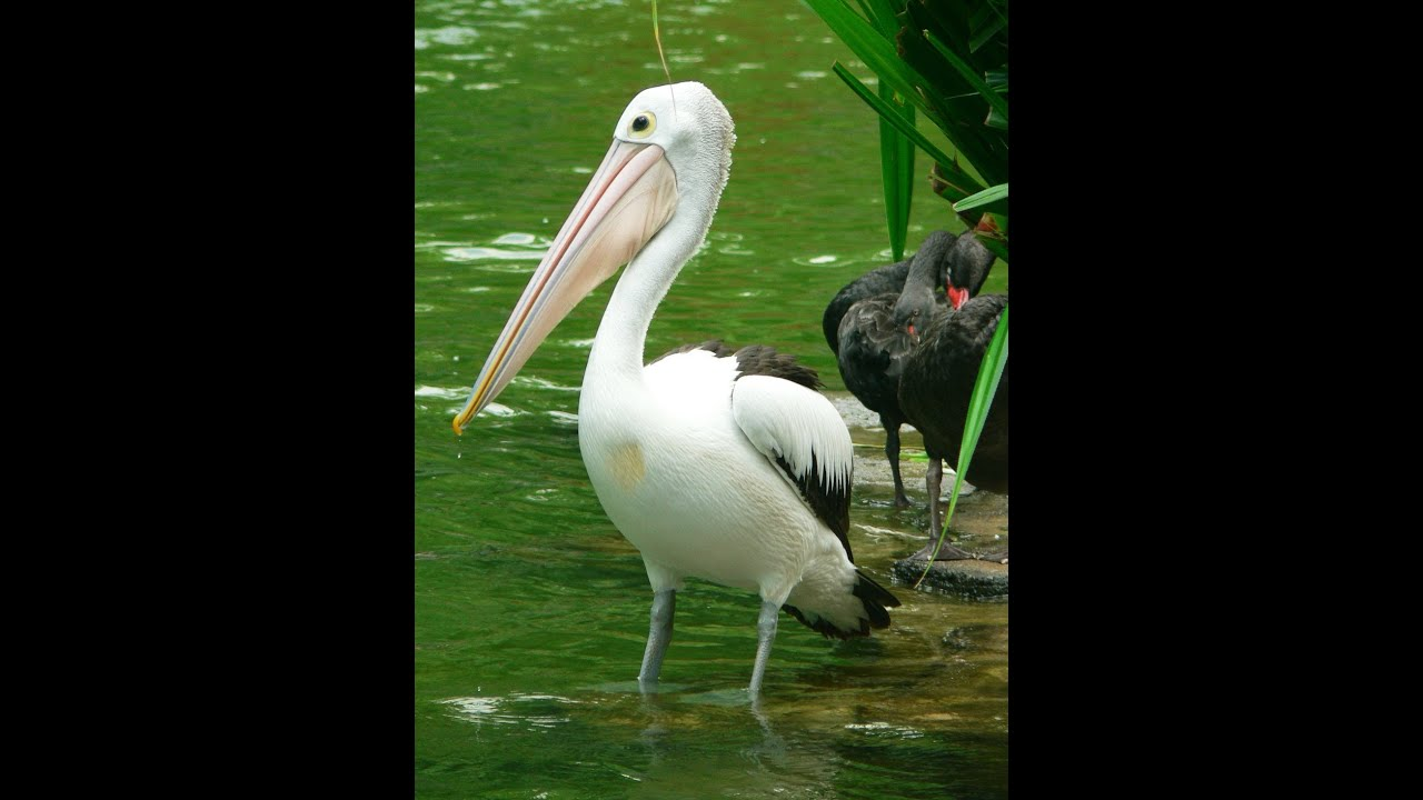 Burung Pelikan Kebun Binatang Ragunan Jakarta Youtube