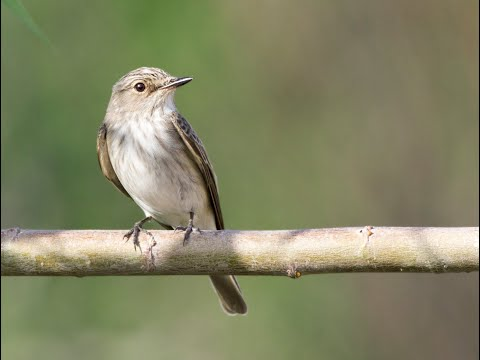 Spotted Flycatcher / Muscicapa striata ( Benekli sinekkapan )
