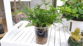 [공기정화식물] 후마타 고사리 수경재배 화분만들기