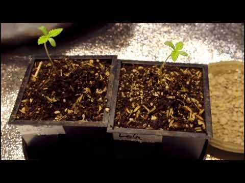 Organic Indoor No Till Grow: Seedlings (Week 1-2) Pineapple Express#2 #OpticLEDGrowersCup