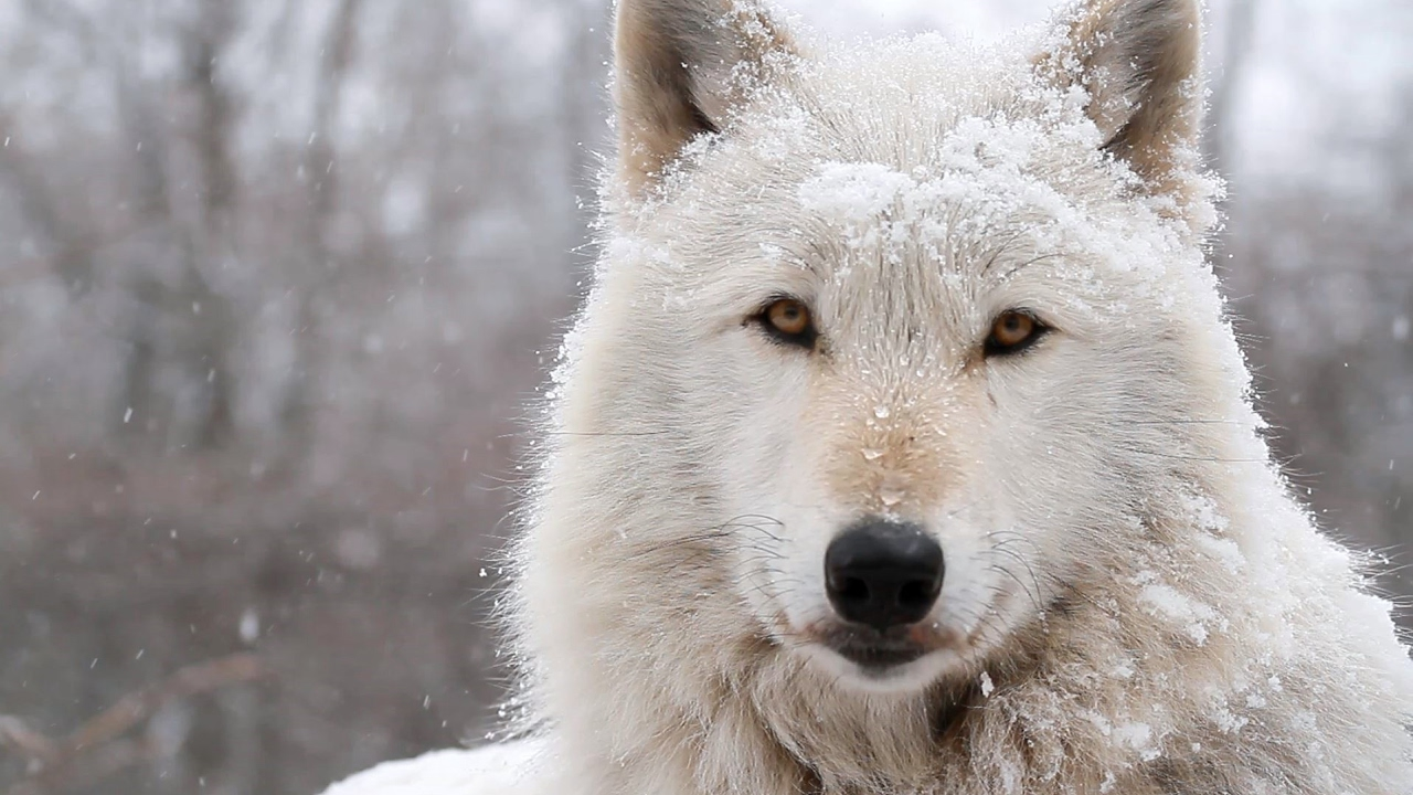 Alawa the Wolf - Snow Queen