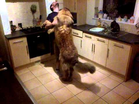 Simba the Leonberger is excited to see his Daddy!