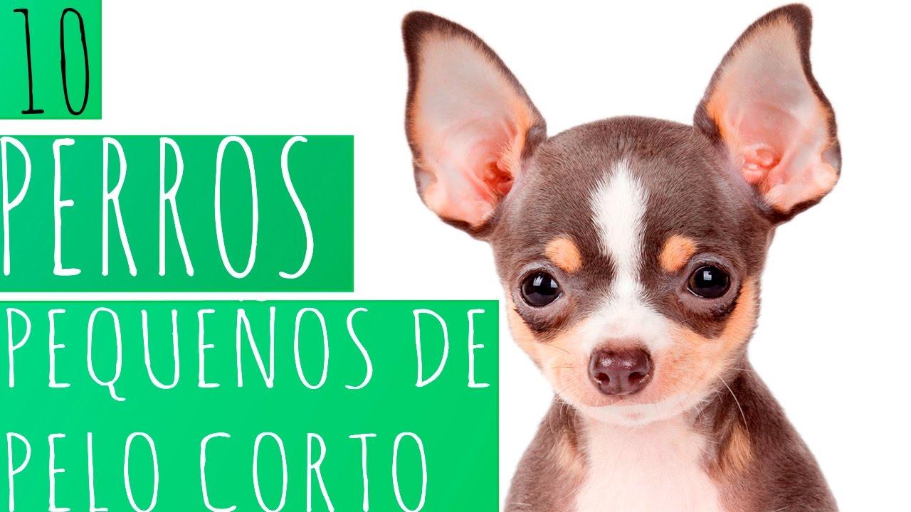 10 Perros Pequeños De Pelo Corto