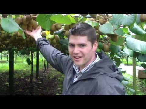 Produce Geek - SunGold Kiwifruit orchard at harvest time