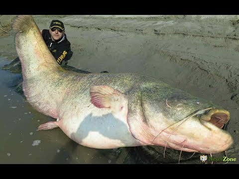 Мировой рекорд. Самый большой сом 190 кг!!!!!!
