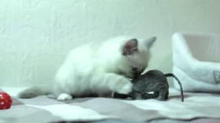 Голубоглазые котята Бирмы (питомник кошек marikota.com)