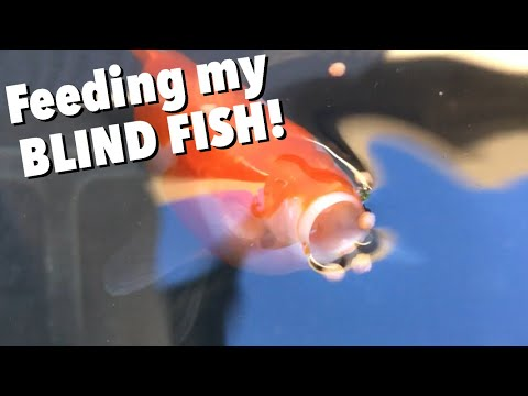 Feeding My BLIND GOLDFISH FISH/ DIY Hang On Back Modification