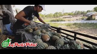 Recepción de Piña para proceso de deshidratación en Juan Rodríguez Clara, Veracruz.
