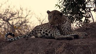 Taking A Good Look At The Homelite Male Leopard