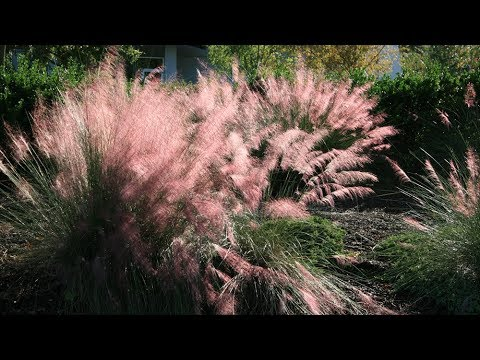 Gulf Muhly Grass