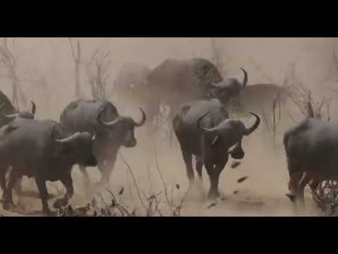 Large Herds Of Cape Buffalo Seen In The Dry Season Around Shingwedzi Area