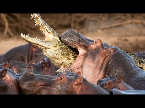 Бегемот – главный агрессор Африки! Прогоняет львов и разбрасывается крокодилами!