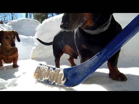 Dachshund Dogs Playing Hockey - Who'll Be The Winner?