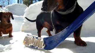 Playing Hockey With Cute Dachshund Dogs
